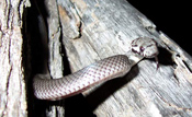 Pale-headed Snake