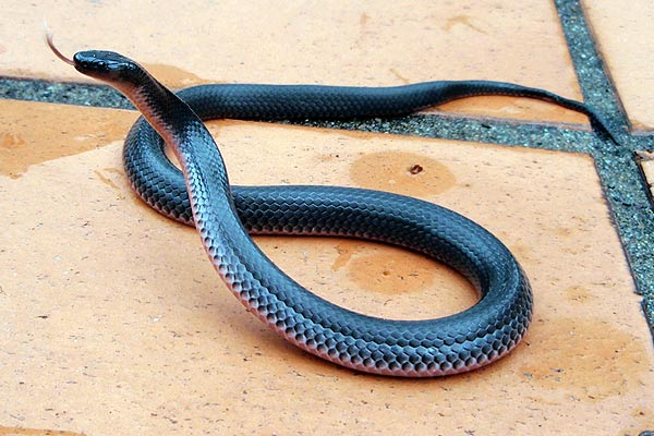 Small-eyed Snake in defensive posture