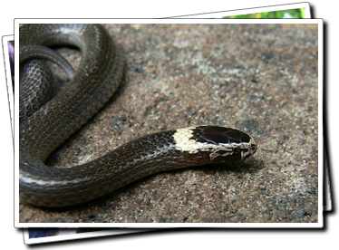 White Crowned Snake
